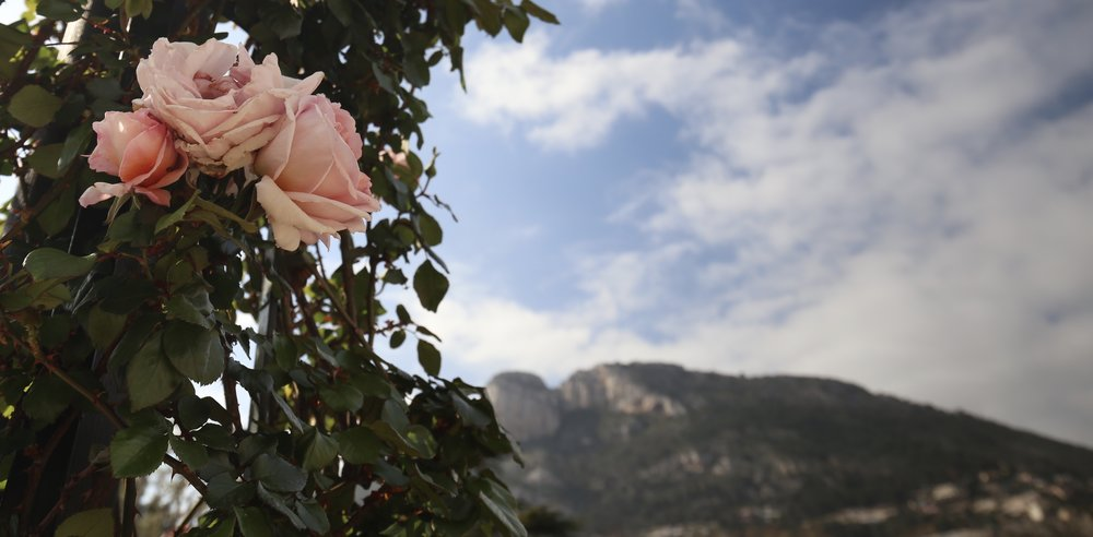 A pink rose, the Princess Grace Rose Garden, and the hills of Monaco behind.