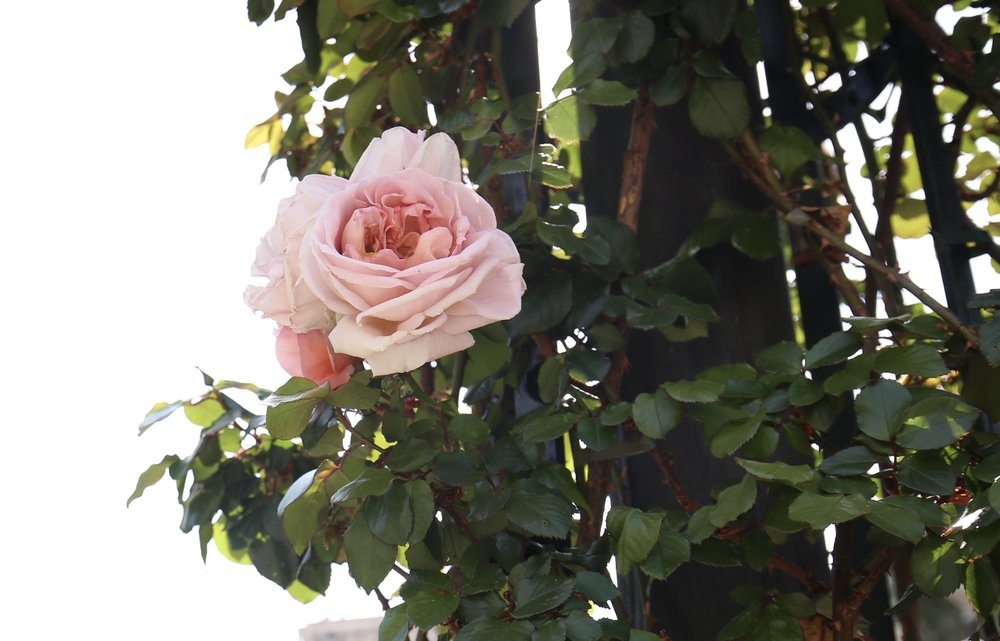 A perfect pink rose, climbing on a trellis.