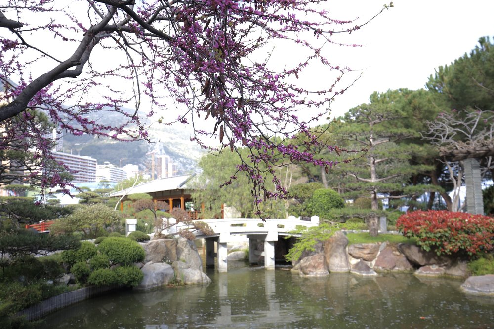 The Japanese gardens of Monaco in Spring - with magenta cherry blossom.