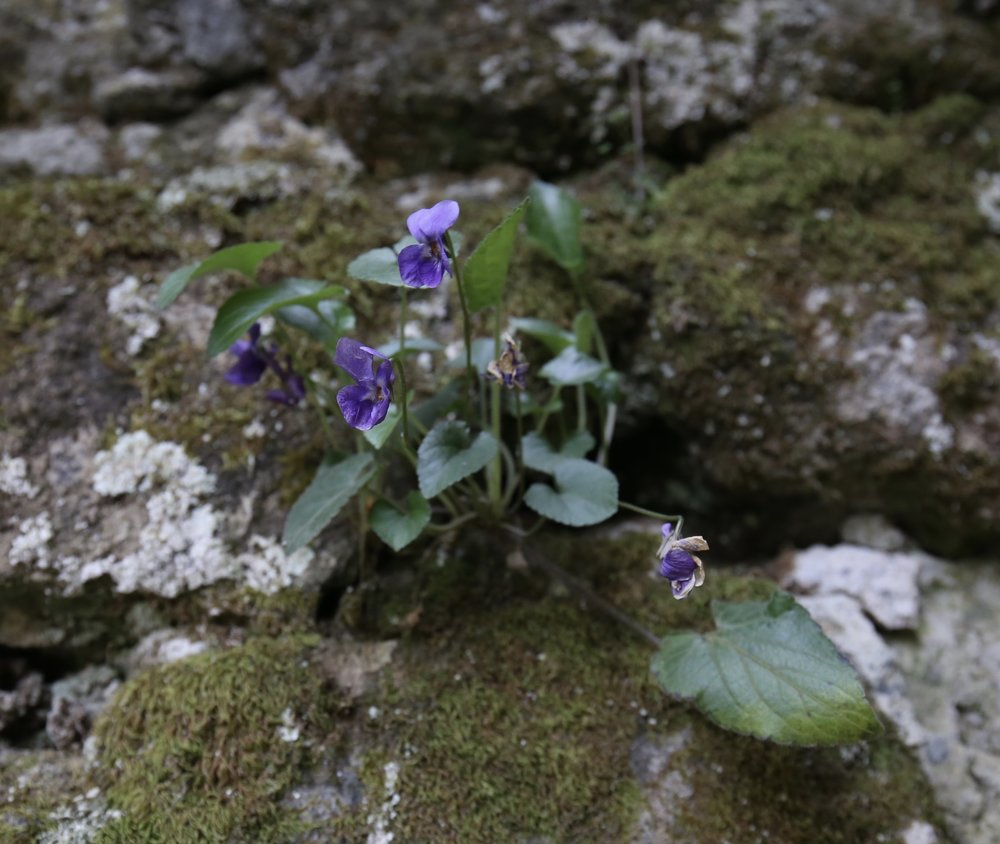 Violets growing in a mossy stone wall.