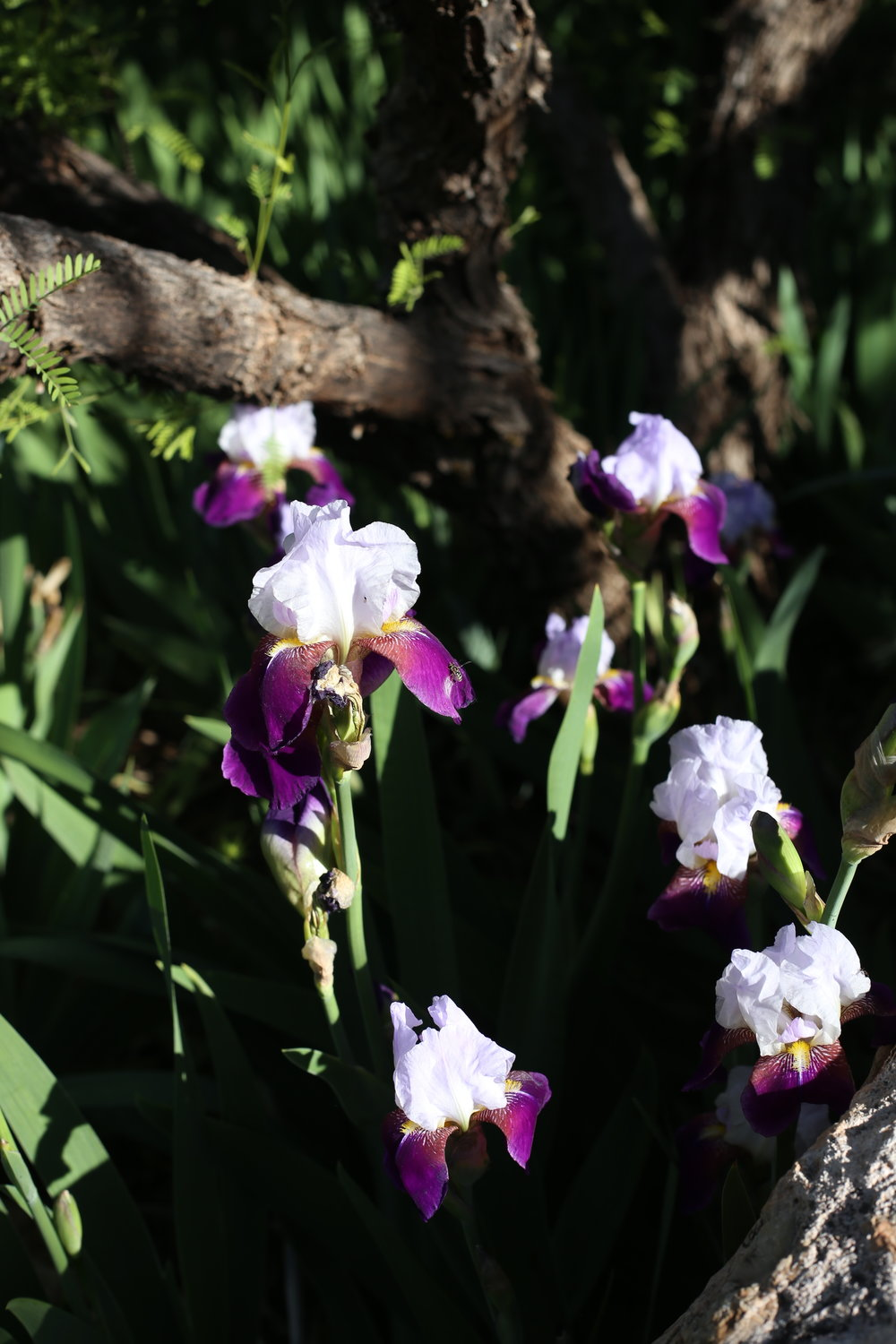 Purple irises in the shadows.