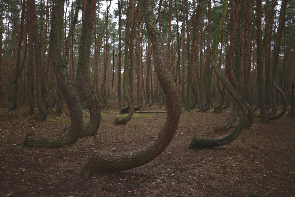 crooked+forest+bent+trunks.jpg