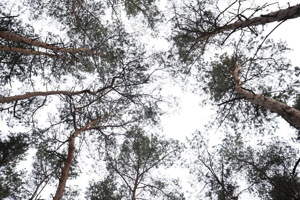 look+up+pines.jpg