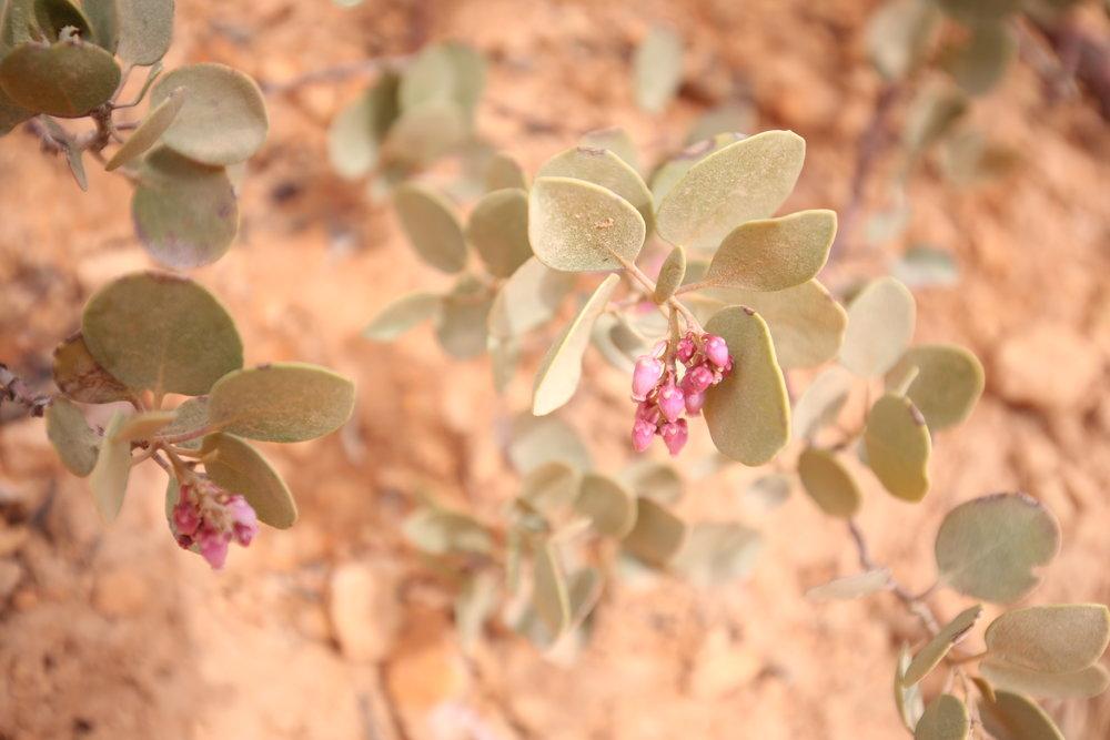 manzanita-flowers