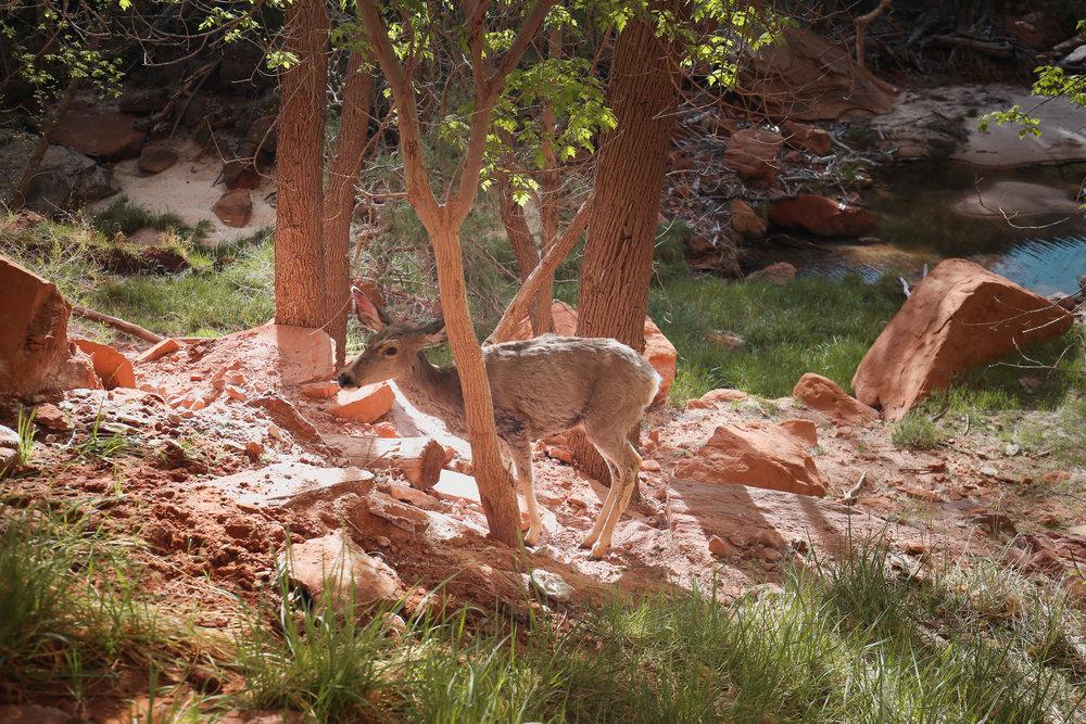 deer-zion-national-park