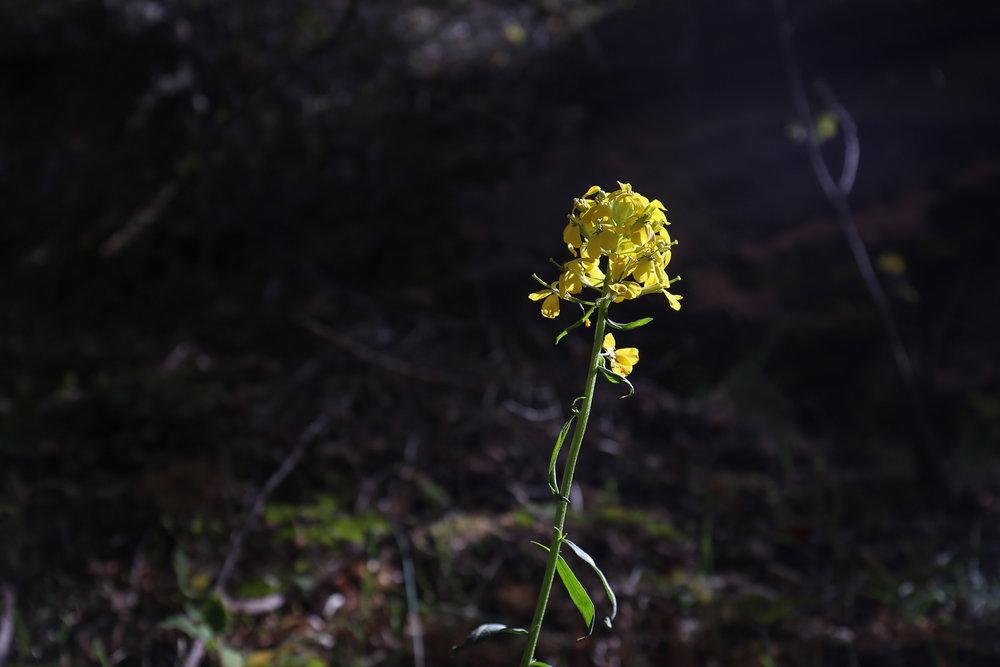 yellow-erysimum