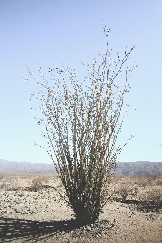 ocotillo-patch-joshua-tree