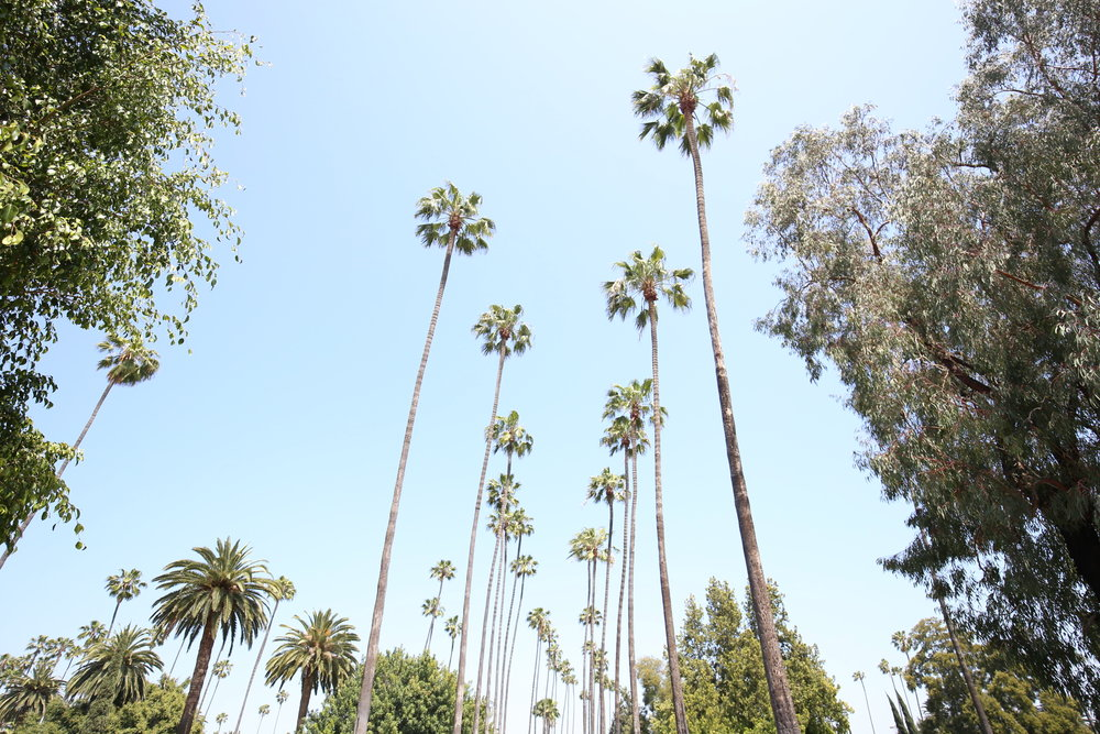 hollywood-palms