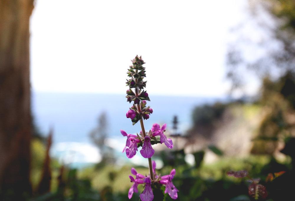 lupin-flower-california-coast