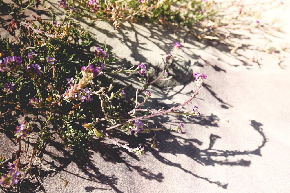 purple-sand-flowers