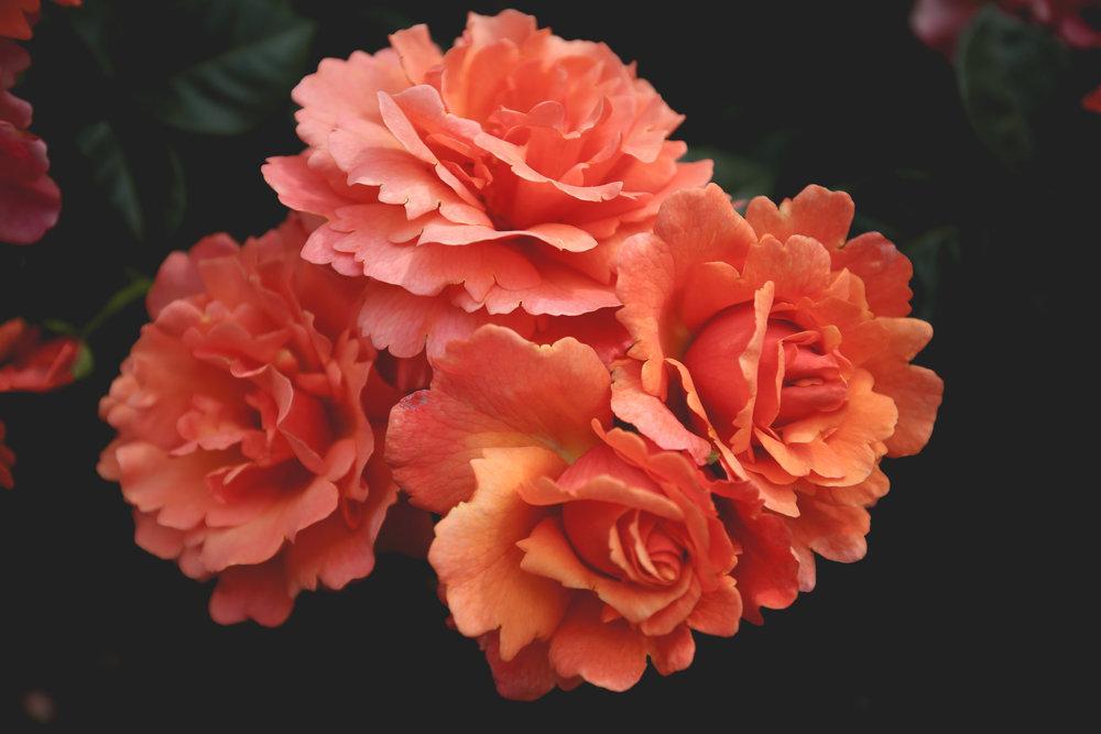 orange-roses-scalloped-petals