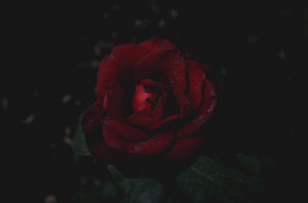 darkest-red-rose