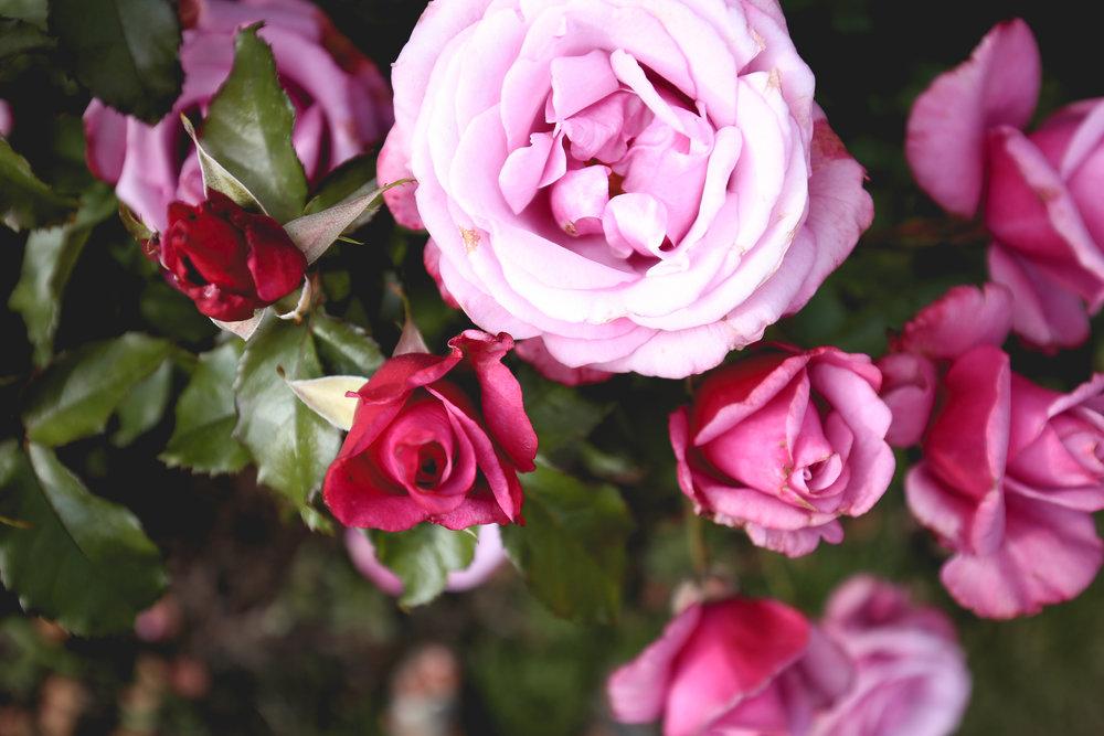 barbra-streisand-rose