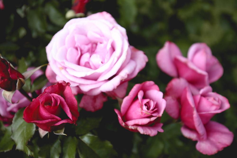 barbra-streisand-roses