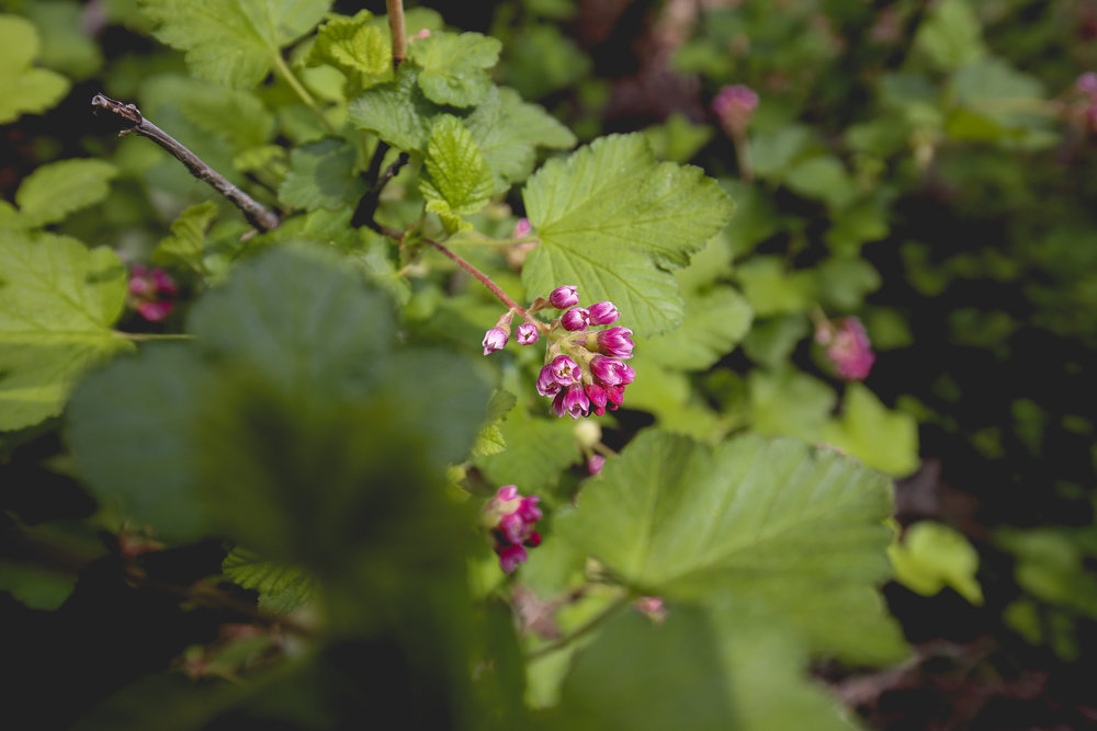 black-currant-flowers