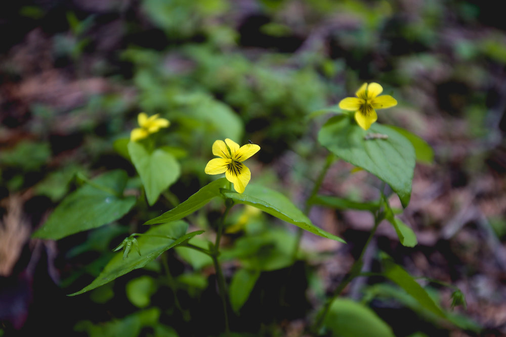 yellow-wood-violet