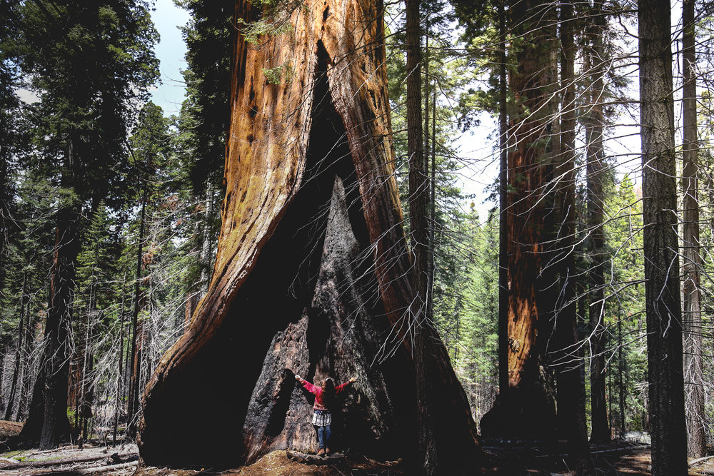 hart-tree-sequoia-national-park
