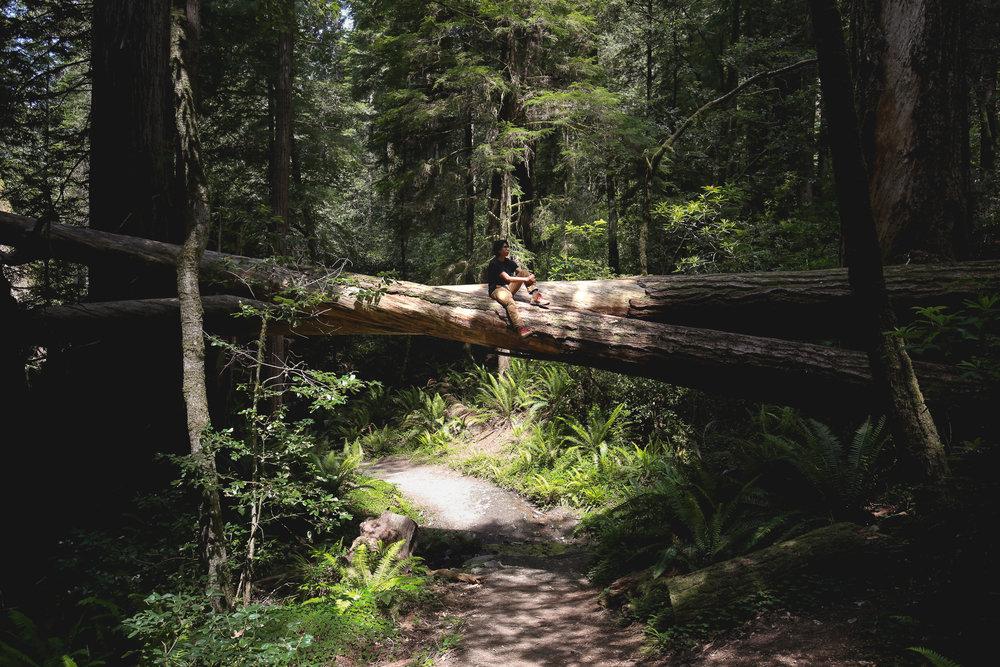 fallen-redwood-trees