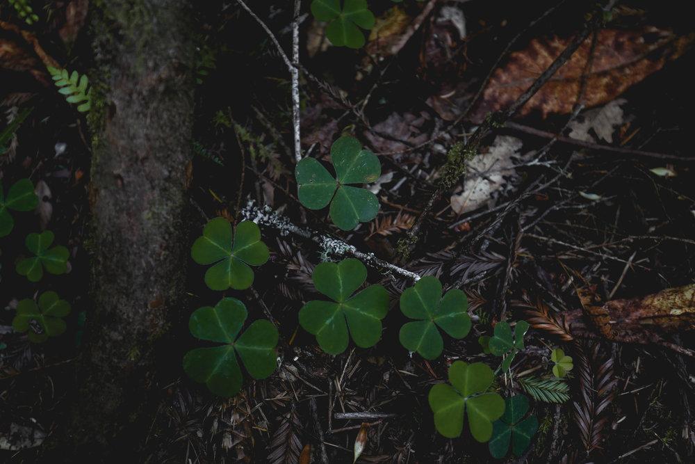 redwood-sorrel-leaves