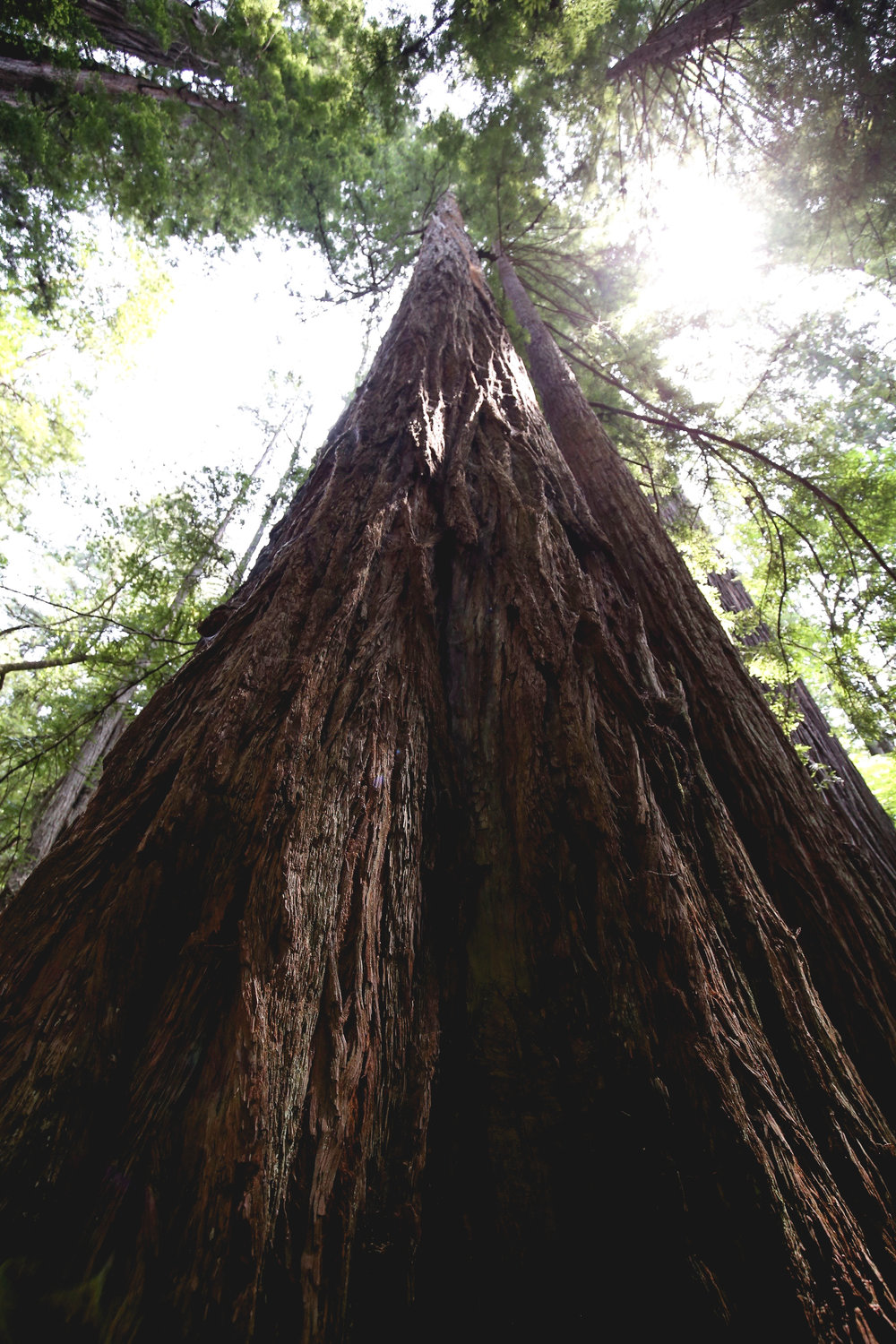 gazing-up-a-redwood-trunk