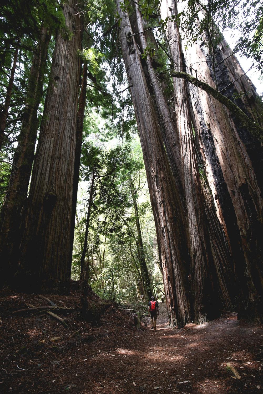 ollie-beside-giant-redwoods