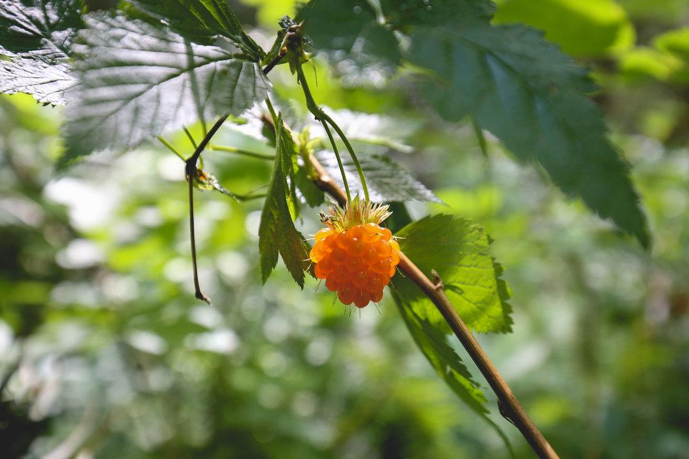orange-salmonberry-like-raspberry