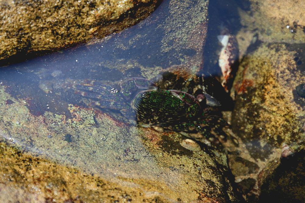 crab-in-rockpool-redwoods-park