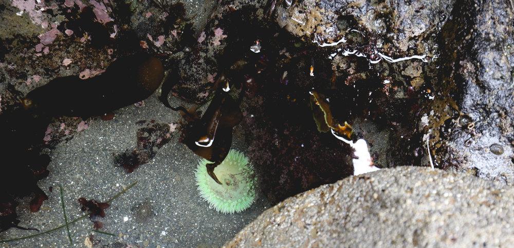 anemone-rockpool-redwoods-coast