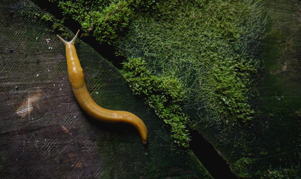 banana-slug-redwood-park