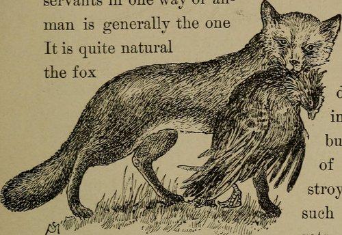 fox_chicken.jpg