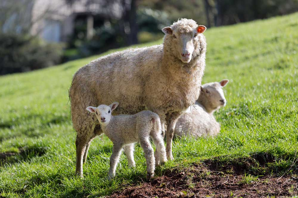 Sheep+and+white+lamb.jpg