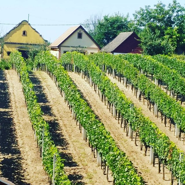 Old wine cellars on the hill. #hungary🇭🇺 has the marvelous #Budapest but there are many more options to enjoy the #countryside. #wine is maybe the most famous and affordable among #delights of our lovely country.