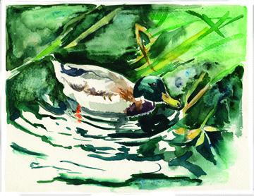 Canard Duck slide show.jpg