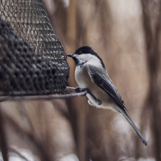 Devastatingly photogenic chickadee. #dapper #stuntin #suitandtie #christmas #photography #nature