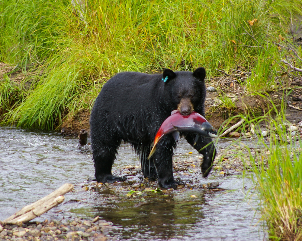 Alaska Bear and Fish.jpg