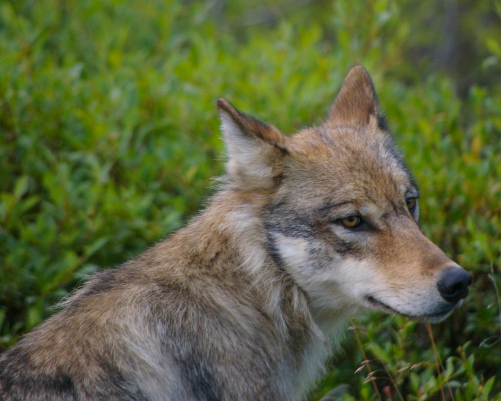 Alaska Wolf at 2100.jpg