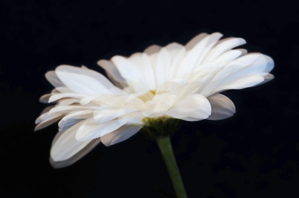 Daisy Movement
