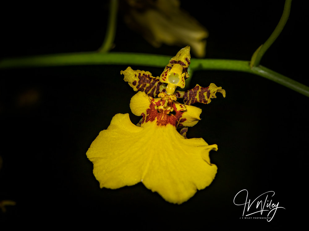 P98A7454 Dancing-lady Orchid.jpg