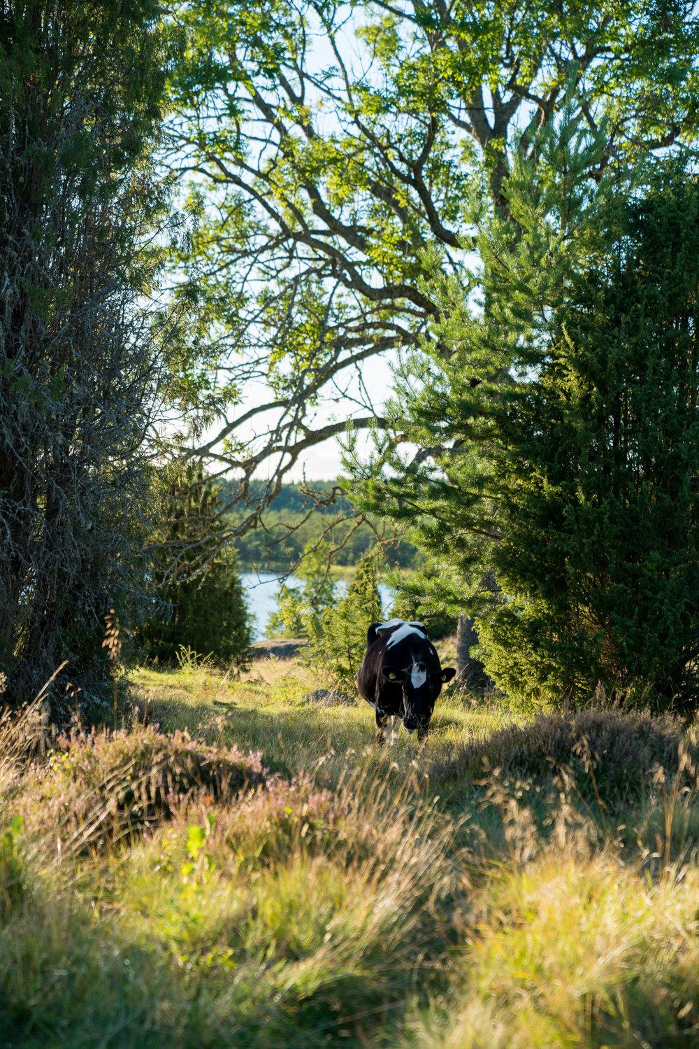 Kor betar runt gården.