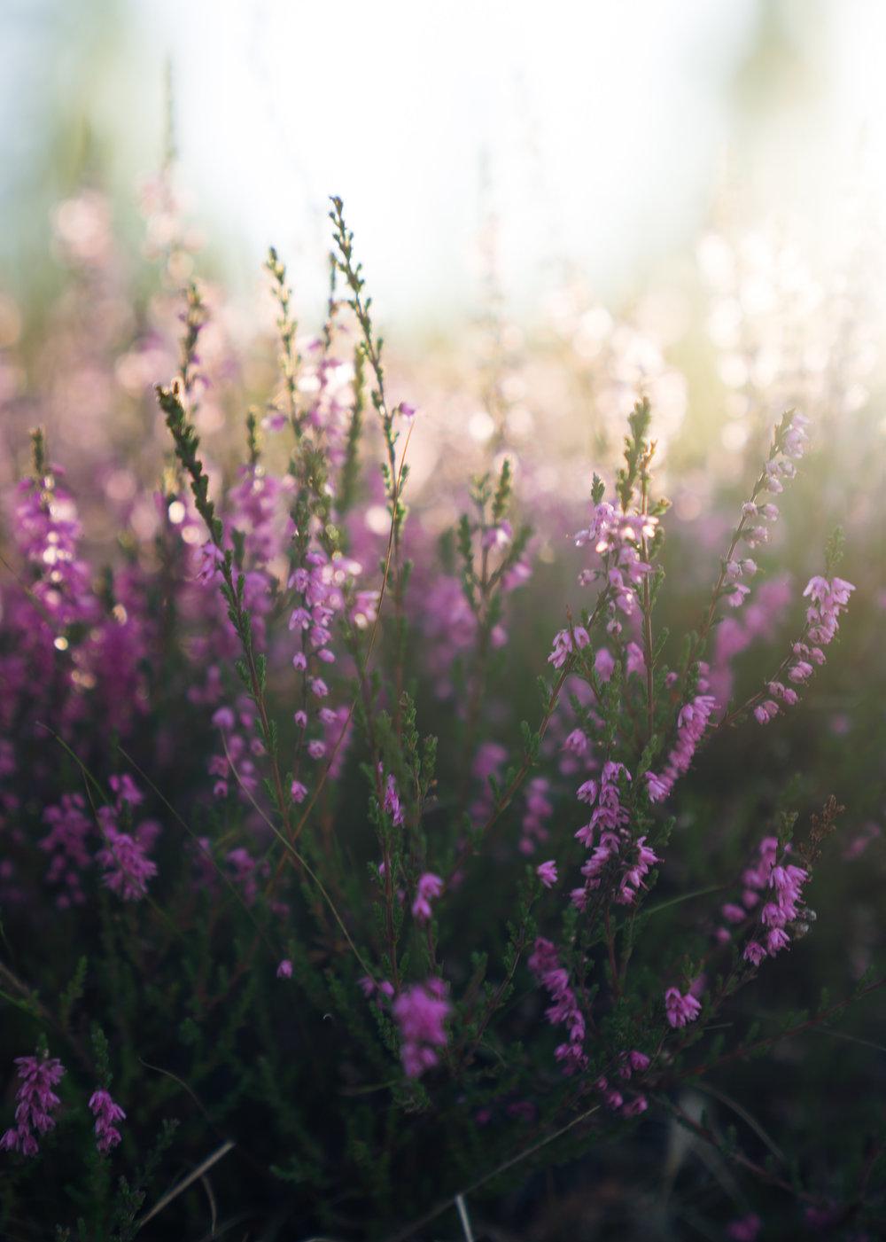 Ljungen i full blomm
