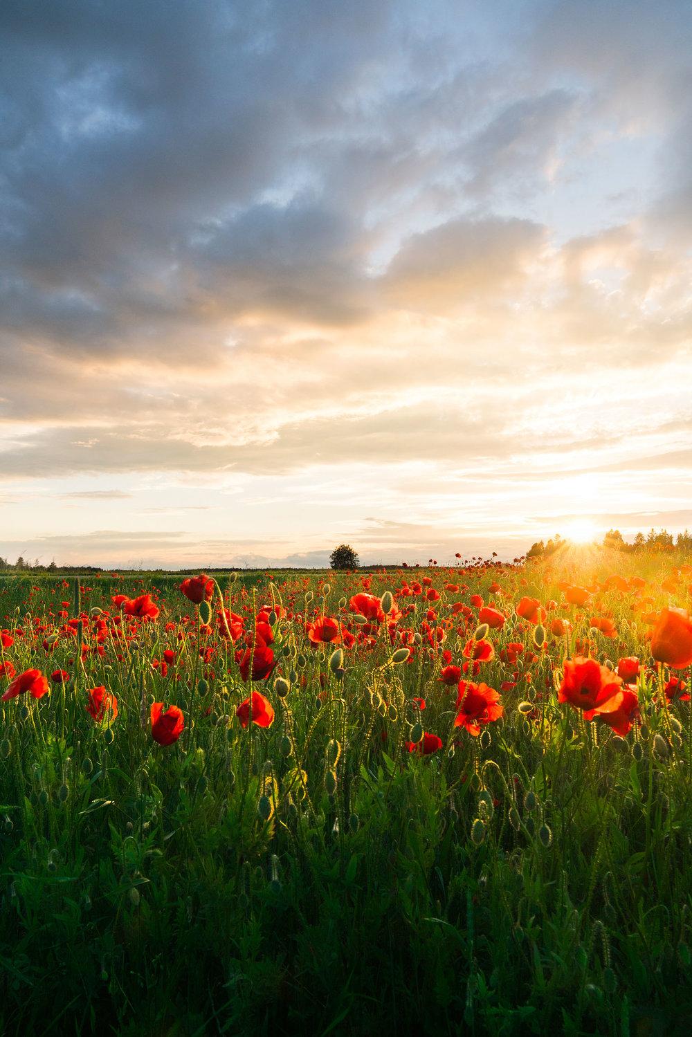 Vallmofält i solnedgång