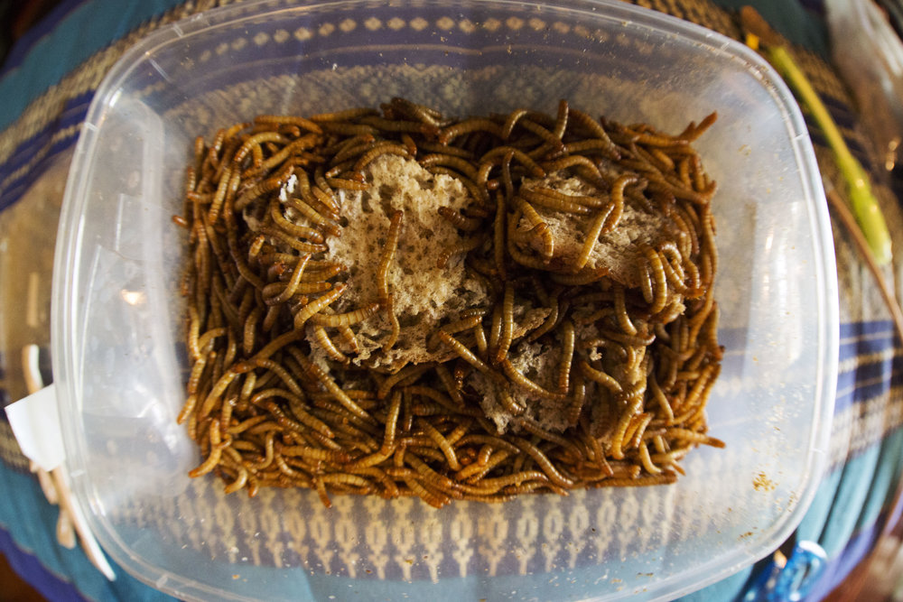 day5-mealworms-2.jpg