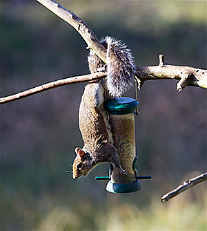 squirrel on branch.png