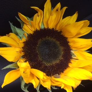 nicer sunflower.JPG