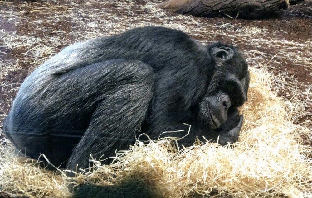 napping gorilla.jpg