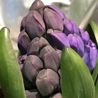 purple hyacinth.JPG
