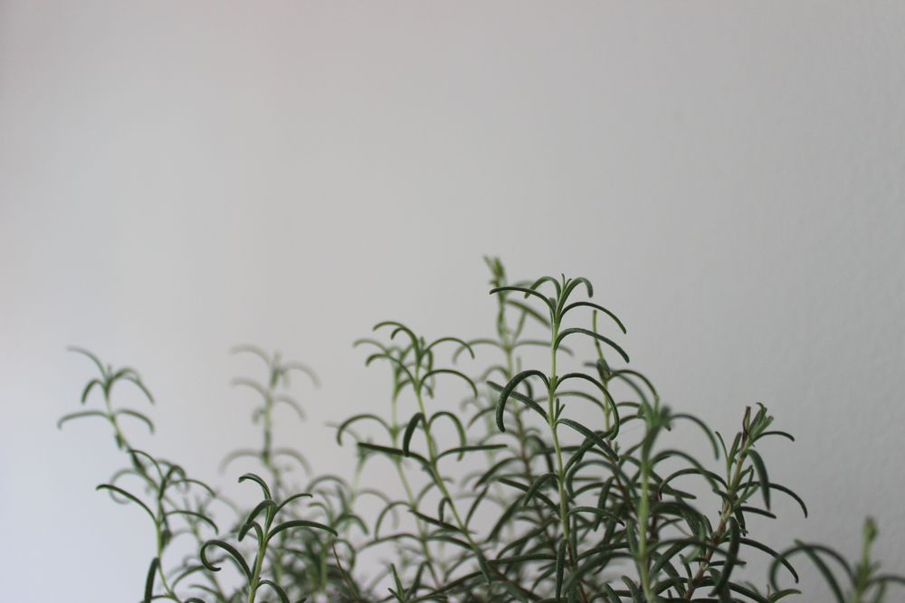 How to grow and care for a rosemary plant indoors and in a small city apartment   Litterless