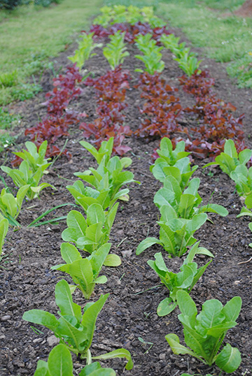 Colorful lettuce grows in neat rows in the Sprout garden.