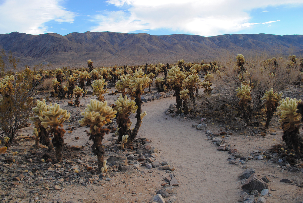 In one part of Joshua Tree National Park, there was a cholla garden.