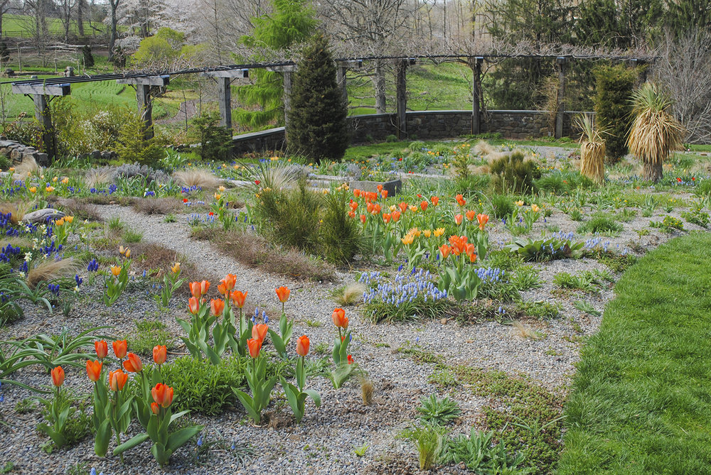 Tulipa 'Orange Emperor' (tulip) and Muscari armeniacum 'Valerie Finnis' (grape hyacinth) jump out of their beds in the gravel garden at Chanticleer in Wayne, PA while other perennials keep pushing snooze. This photo was taken in late April 2014.